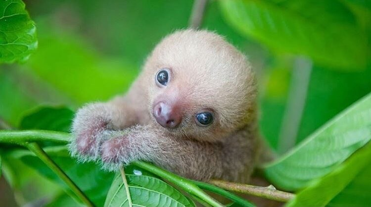 Sloths are called Lazy Bears in Costa Rica but they are seen all over and loved!